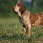 Bracco Italiano breed