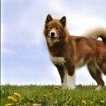 Canadian Eskimo Dog download wallpaper