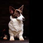 Cardigan Welsh Corgi free