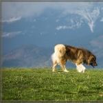 Carpathian Shepherd Dog new wallpapers