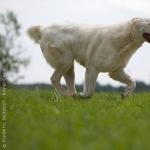 Central Asian Shepherd Dog new photos