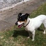 Chilean Fox Terrier new photos