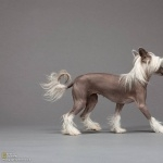 Chinese Crested Dog 1080p