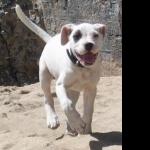 Cordoba Fighting Dog wallpapers