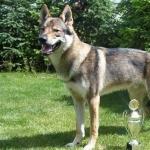 Czechoslovak Wolfdog cute