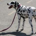 Dalmatian full hd