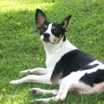 Decker Rat Terrier wallpapers for desktop