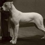 Dogo Argentino 1080p