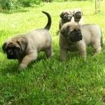 English Mastiff images