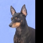English Toy Terrier hd wallpaper