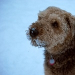Fox Terrier pics