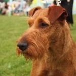 Irish Terrier full hd