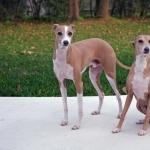Italian Greyhound widescreen