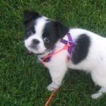 Japanese Chin free wallpapers