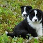 Karelian Bear Dog images