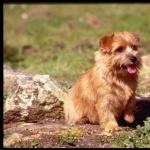 Norfolk Terrier download wallpaper
