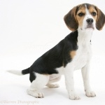 North Country Beagle background