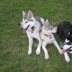 Northern Inuit Dog full hd