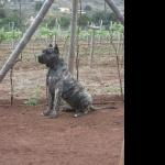 Perro de Presa Canario image