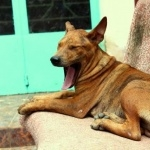 Phu Quoc ridgeback dog new photos