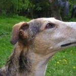 Polish Greyhound high definition wallpapers