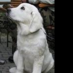 Polish Tatra Sheepdog desktop