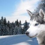 Siberian Husky hd
