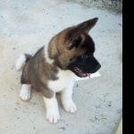 American Akita new wallpapers
