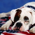 American Bulldog desktop