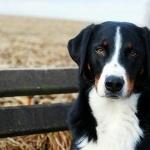Appenzeller Sennenhund photos