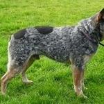 Australian Stumpy Tail Cattle Dog breed
