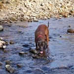 Bavarian Mountain Hound pics
