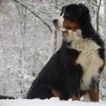 Bernese Mountain Dog download wallpaper