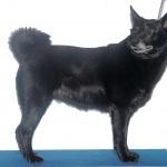 Black Norwegian Elkhound free