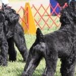 Black Russian Terrier hd wallpaper