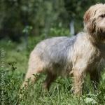 Bosnian Coarse-haired Hound cute