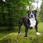 Bull and Terrier download wallpaper