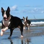 Bull Terrier Miniature photos