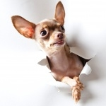 Chihuahua hd desktop