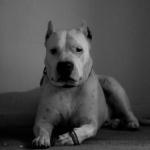 Cordoba Fighting Dog hd pics