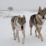 Czechoslovak Wolfdog new photos