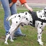 Dalmatian pic