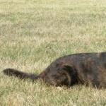 Dutch Shepherd Dog pics