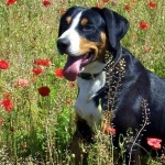 Entlebucher Mountain Dog background