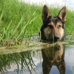 German Shepherd Dog pics