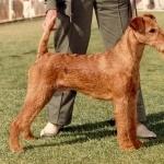 Irish Terrier pic