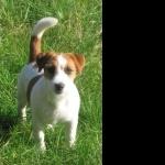 Jack Russell Terrier cute
