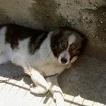 Karakachan Dog wallpapers hd