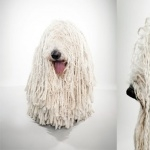Komondor hd photos