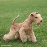 Lakeland Terrier new wallpapers